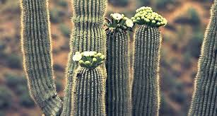 arizona state flower saguaro proflowers blog