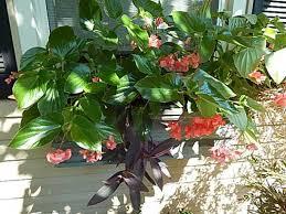 dragon wing begonia arch gardener