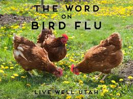 Backyard Chicken Blog by The Word On Bird Flu It Might Affect You U2013 Live Well Utah