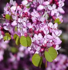 ca native plants western redbud monrovia western redbud