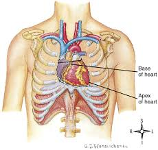 Gross Anatomy Of The Human Heart Functional Anatomy Of The Cardiovascular System Clinical Gate