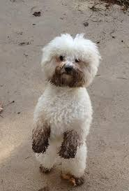 bichon frise breeders near me dirt bichon frise so funny when they stand this way sonny does