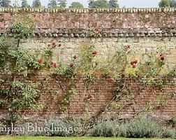 english roses photo etsy