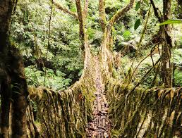 india u0027s living root bridges are both practical and beautiful photos