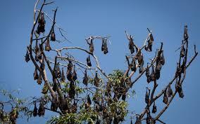 As Blind As A Bat Meaning Why Do Bats Sleep Upside Down Wonderopolis