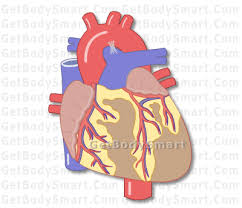 Gross Anatomy Of The Human Heart Heart Anatomy And Physiology Interactive Quizzes Tutorials