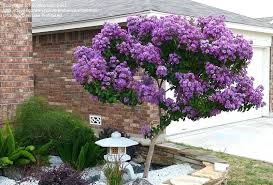 ornamental trees for landscaping ornamental trees ornamental