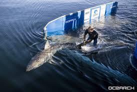 researchers confirm there u0027s a great white shark u0027nursery u0027 off long