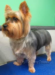 shorkie haircut photos pet grooming the good the bad the furry yorkie day