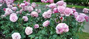 rose growing u0026 care u0027how to u0027 articles fertilize roses