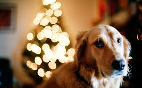 dog christmas how to prepare your dog for the christmas festivities