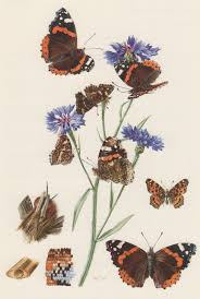 1957 admiral butterfly antique print insects entomology