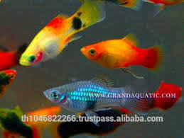 platy fish farm for sale ornamental fish exporter buy