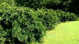 training vines garden on a budget pinterest videiras