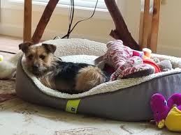 dog gone problems i need help potty training a yorkie mix david