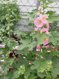 perennials fig leaf hollyhock from seed 1 by bigcityal