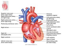Human Anatomy And Physiology Final Exam Human Heart Has 4 Chambers Heart Anatomy Chambers Valves And