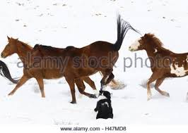 australian shepherd illustration australian shepherd with horse stock photo royalty free image