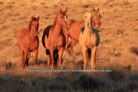 Wild Horses In America Map by Where Are Wild Horses U2013 Wild Horse Education