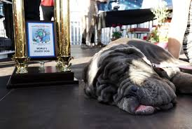 Ugliest Martha The Mastiff Has Been Crowned The Winner Of The World U0027s