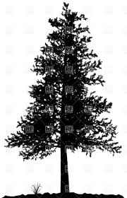 high detailed pine tree silhouette on white background royalty