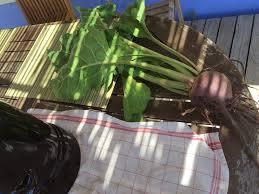 comment cuisiner les feuilles de betterave comment utiliser les fanes de betteraves