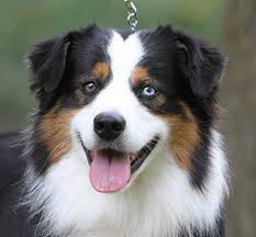 australian shepherd miniature black tri with blue eyes awesome blue eyed pups pinterest