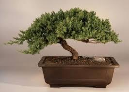 japanese bonsai trees windswept japanese bonsai tree