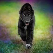 belgian shepherd for sale australia belgian shepherds wolf shadow photography fine art animal