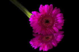 single sun flower wallpapers black flowers black sun 13 desktop background hdflowerwallpaper com