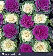 up of ornamental cabbage flowering cabbage brassica