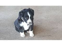 australian shepherd eskimo spitz mix miniature australian shepherd breed information u0026 pictures toy