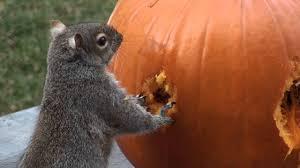 squirrels carve face in pumpkin youtube
