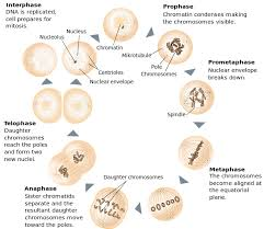 cell growth and division sciences with mrs babb