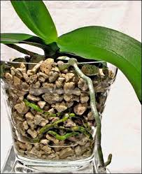 orchids care caring for orchids orchid care pruning indoor