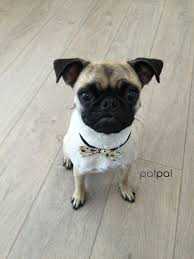 haircut ideas for long hair jack russell dogs short hair cut for pug cross jack russell at patpal dog grooming