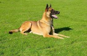 belgian shepherd how much the differences between a dutch shepherd and a belgian malinois