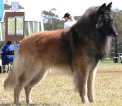 belgian sheepdog groenendael sale the belgian shepherd dog the dogs