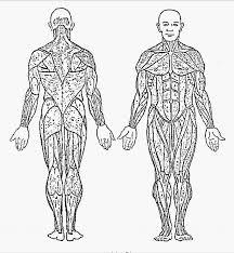 muscle anatomy coloring human anatomy body