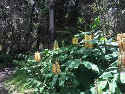 native ginger plant state seeking feedback for 2015 outdoor recreation plan big