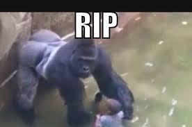 Gorilla Meme - facebook memes compare aboriginal athlete to gorilla that was