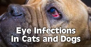 What Causes Dogs To Go Blind Diagnosing And Curing Pet Eye Infections
