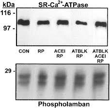 modulation of the renin angiotensin pathway through enzyme