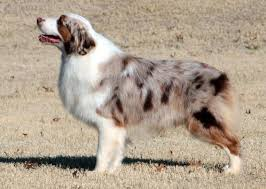 australian shepherd 2015 nationals boldheart mini aussie boys available to approved females
