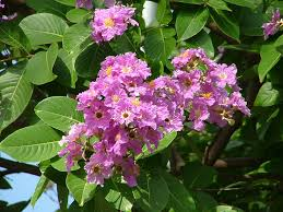 Trees Plants And Flowers - lagerstroemia speciosa wikipedia