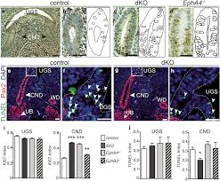 multimodal eph ephrin signaling controls several phases of