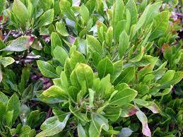 plants native to hawaii i am an aalii hawaii horticulture