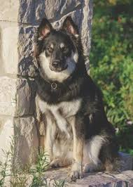 australian shepherd catahoula mix catahoula husky mix for the love of dog pinterest australian