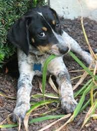 bluetick coonhound apparel beagle friendly and curious bluetick coonhound grand bleu de
