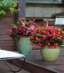 surefire red and surefire rose begonias will grow in the sun or
